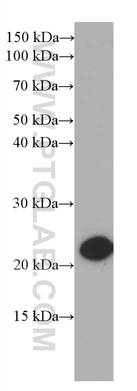 WB analysis of NIH/3T3 using 66446-1-Ig