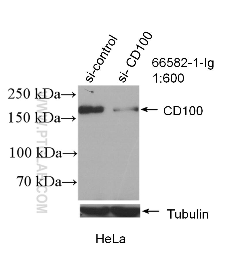 WB analysis of HeLa using 66582-1-Ig