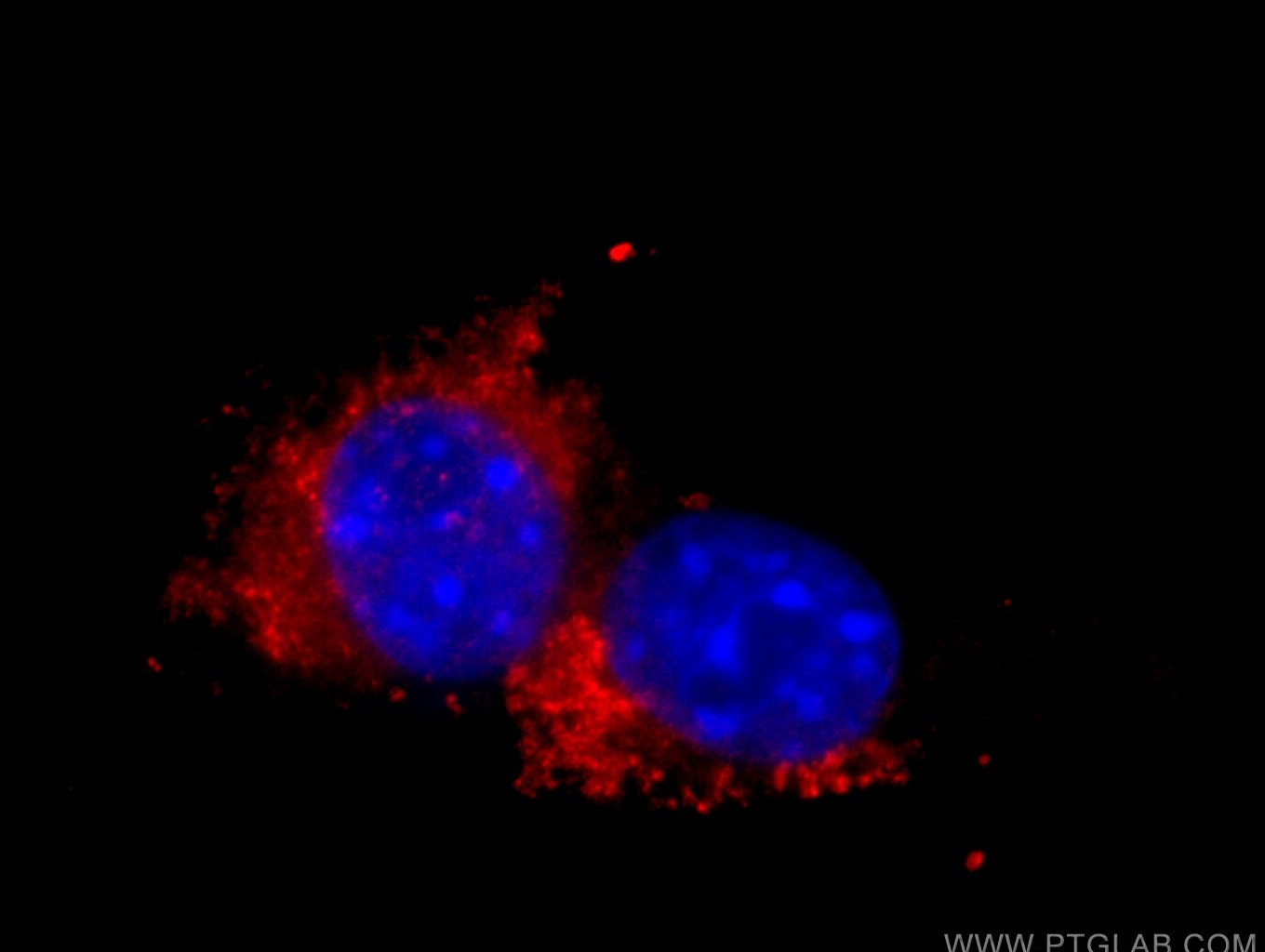 IF Staining of NIH/3T3 using 65050-1-Ig