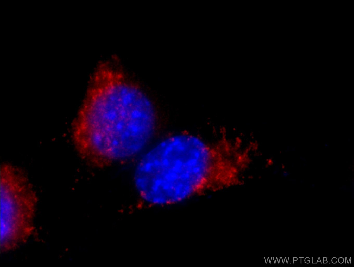 IF Staining of NIH/3T3 using 65052-1-Ig