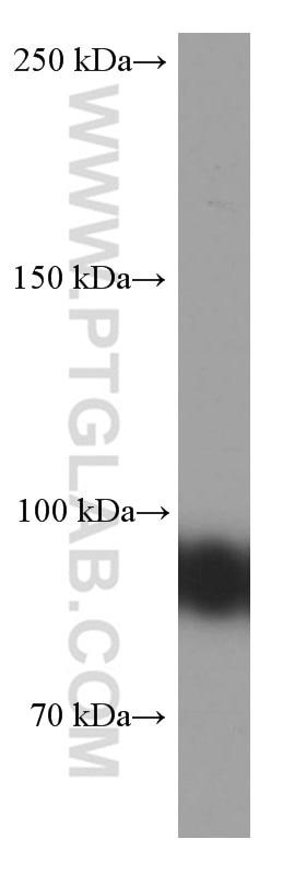 WB analysis of Raji using 66298-1-Ig