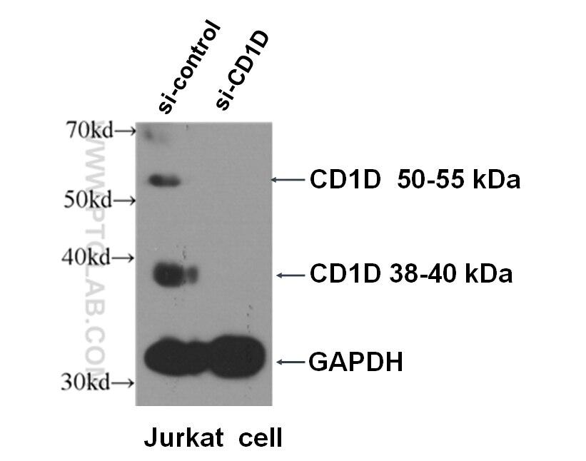 WB analysis of Jurkat cells using 17336-1-AP