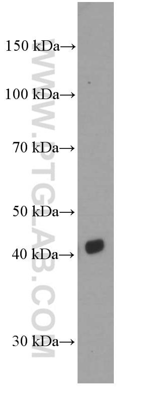 CD1d Monoclonal antibody