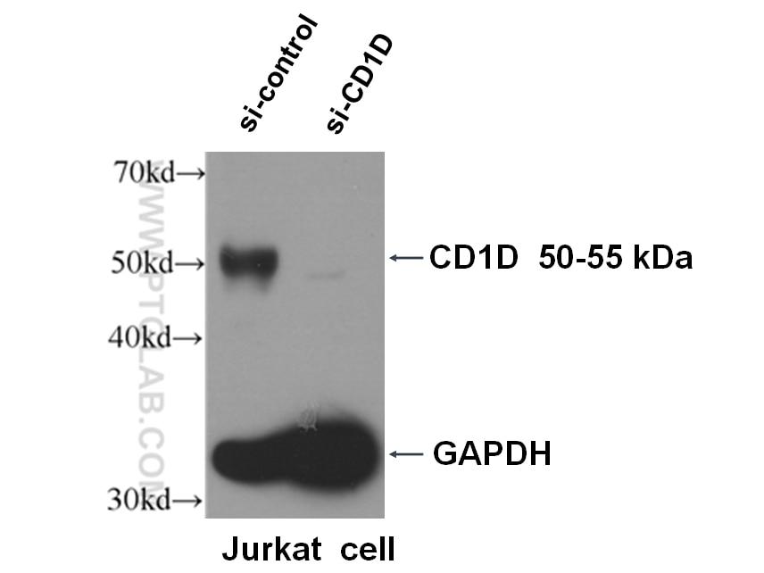 WB analysis of Jurkat using 66257-1-Ig