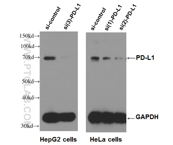 WB result of PD-L1 antibody (17952-1-AP, 1:500) with si-Control and si-PD-L1 transfected HepG2 and HeLa cells with 3 separate constructs