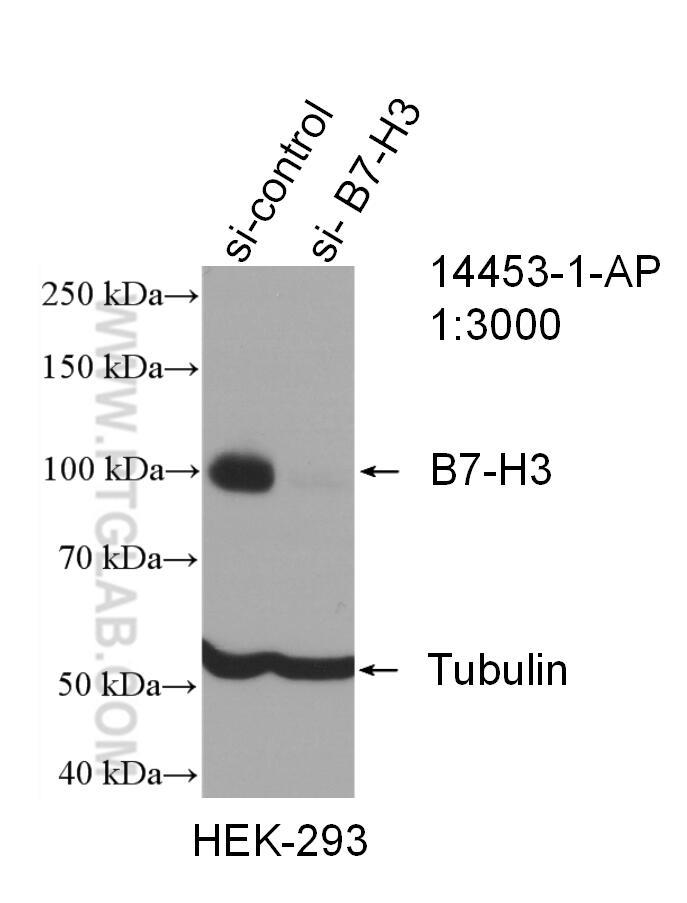 WB analysis of HEK-293 using 14453-1-AP