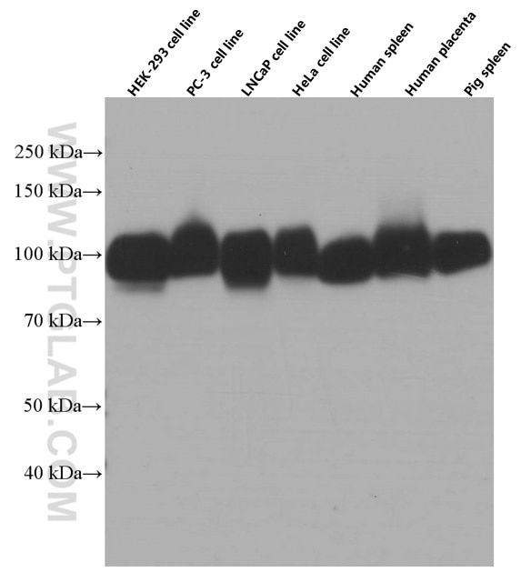 WB analysis of HEK-293 using 66481-1-Ig