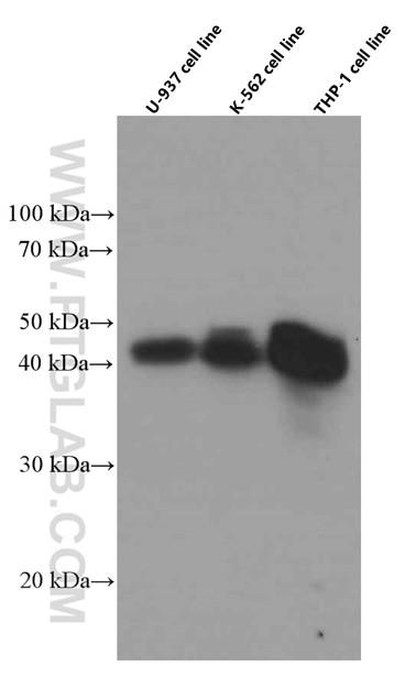 WB analysis of U-937 using 66529-1-Ig