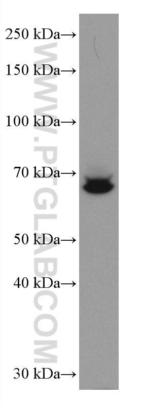 WB analysis of THP-1 using 67135-1-Ig