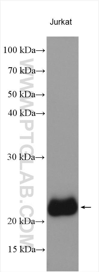WB analysis using 16669-1-AP
