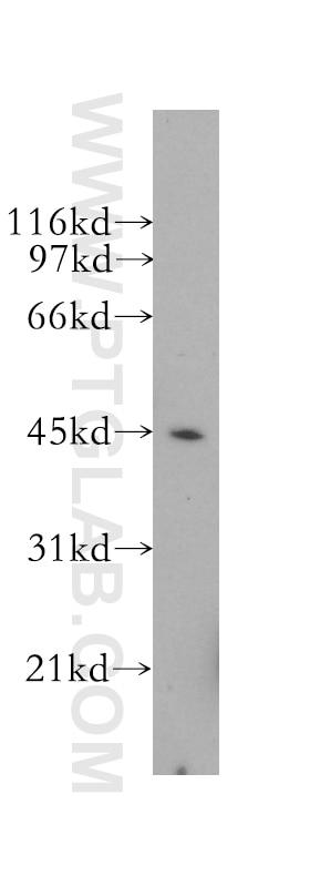 CD40 Polyclonal antibody