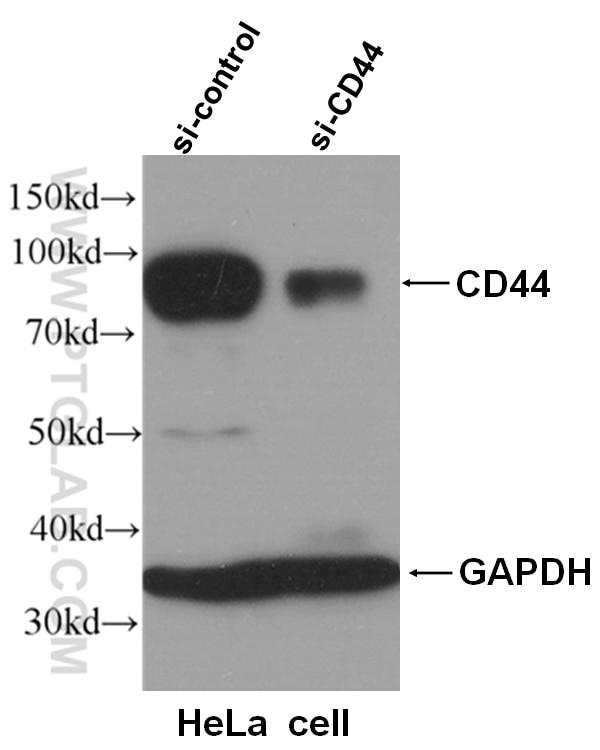 WB analysis of HeLa cells using 15675-1-AP