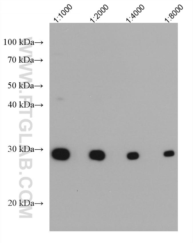 WB analysis using 67749-1-Ig