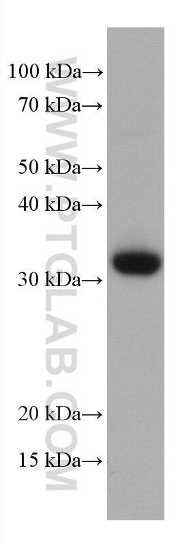 WB analysis of MOLT-4 using 66868-1-Ig
