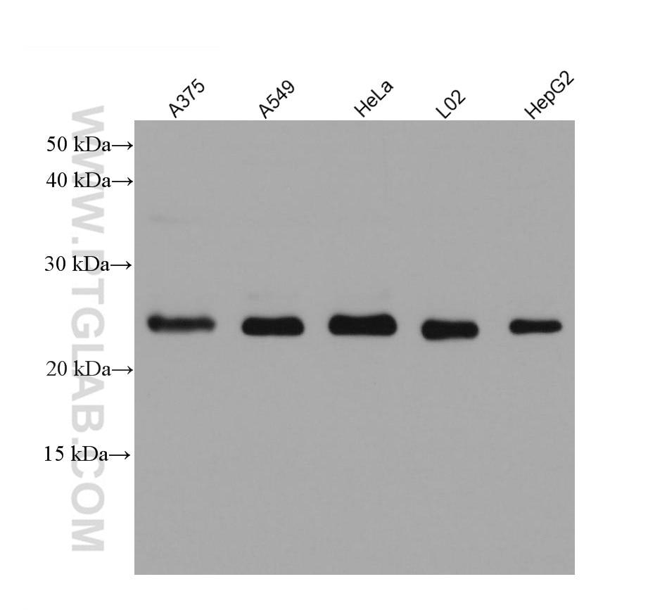 WB analysis using 60232-1-Ig