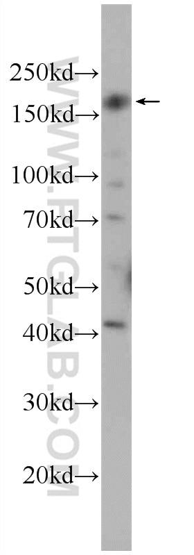 WB analysis of HEK-293 using 22227-1-AP