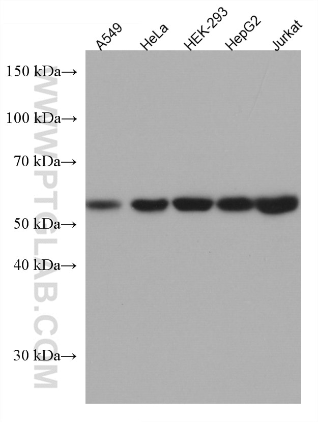 WB analysis using 67460-1-Ig