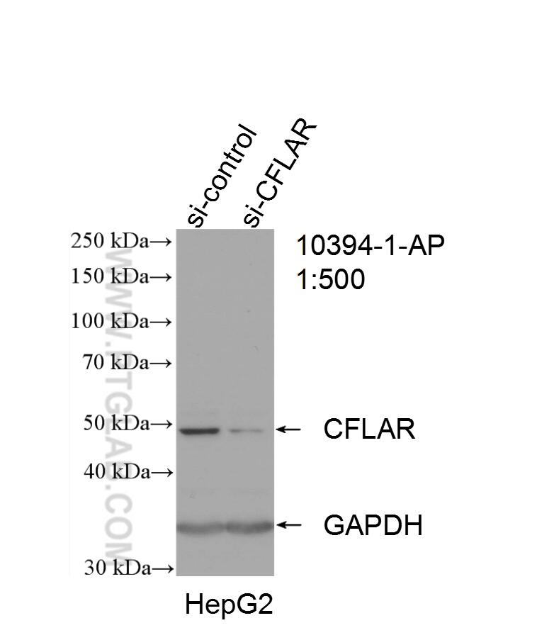WB analysis of HepG2 using 10394-1-AP