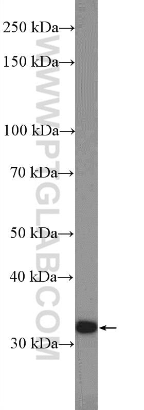 WB analysis of HepG2 using 10477-1-AP