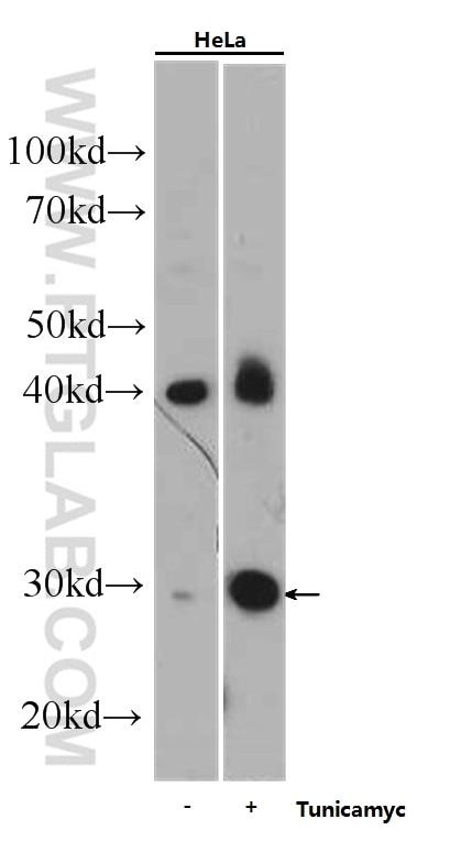 WB analysis of HeLa using 60304-1-Ig