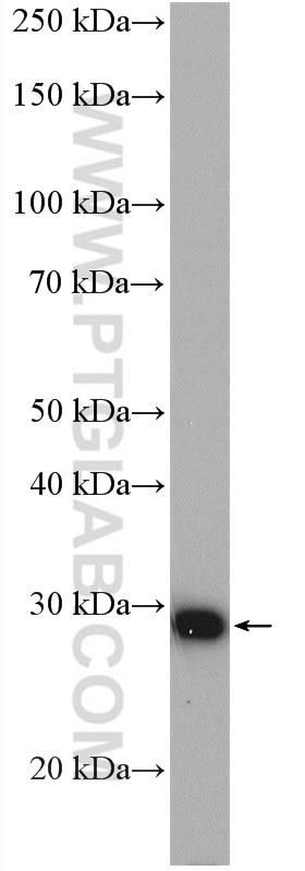 WB analysis of HepG2 using 27600-1-AP
