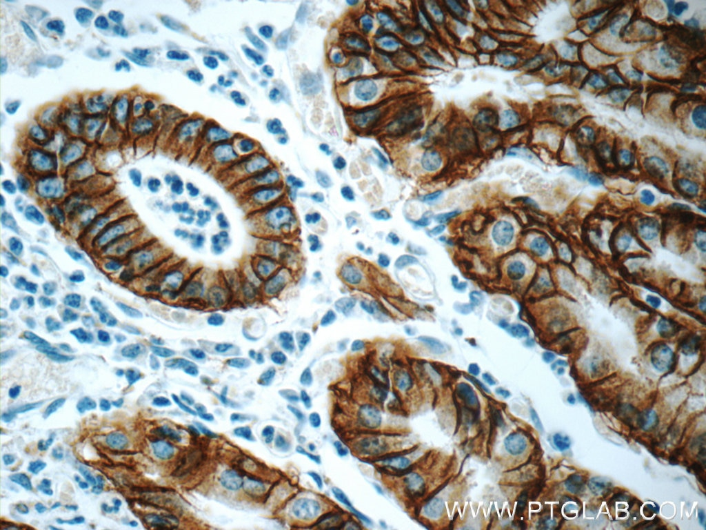 IHC staining of human stomach using 66167-1-Ig