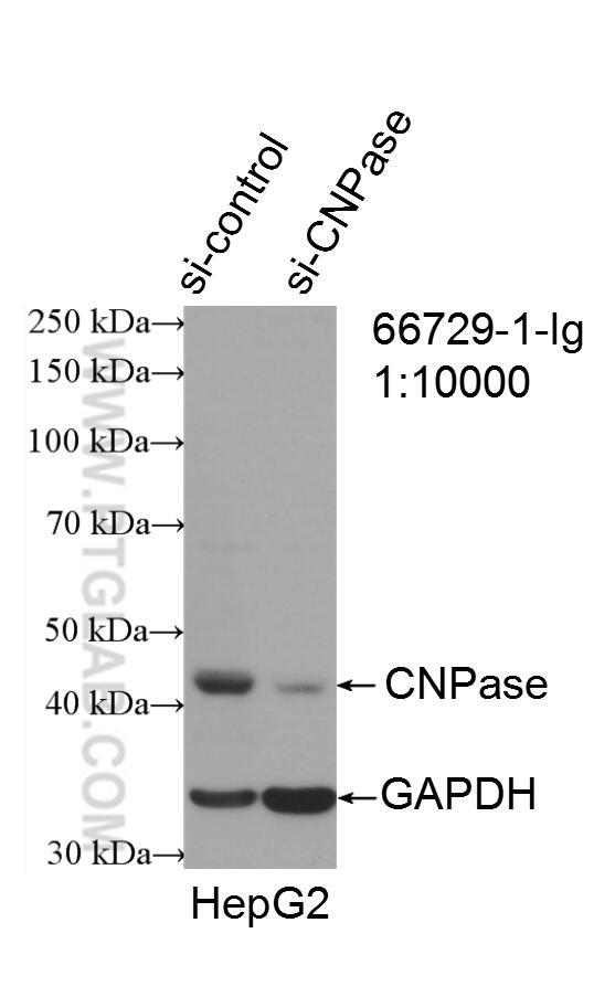 WB analysis of HepG2 using 66729-1-Ig
