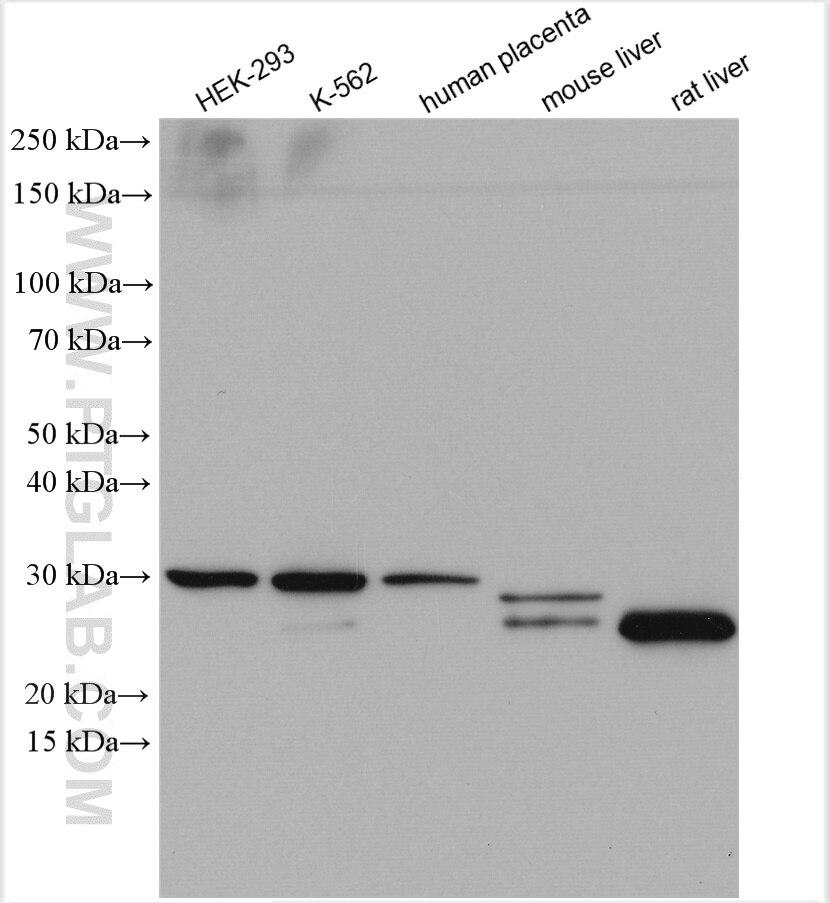 WB analysis using 14754-1-AP