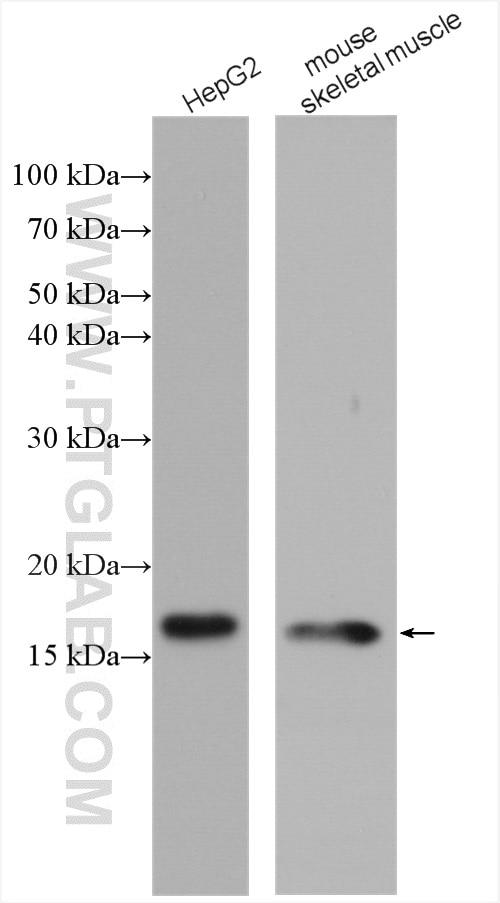 WB analysis using 11242-1-AP