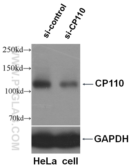 WB analysis of HeLa cells using 12780-1-AP