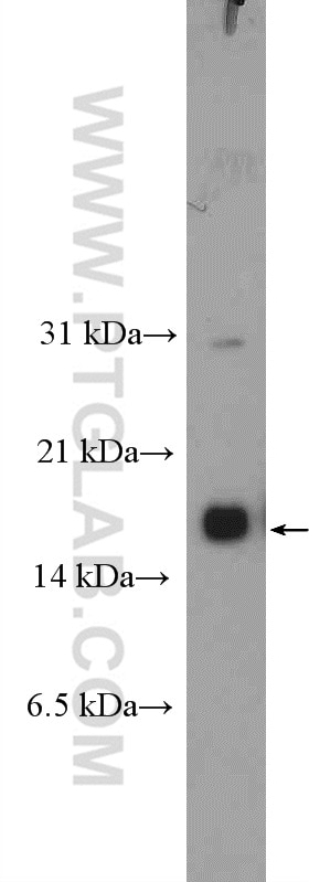 WB analysis of mouse embryo using 12588-1-AP