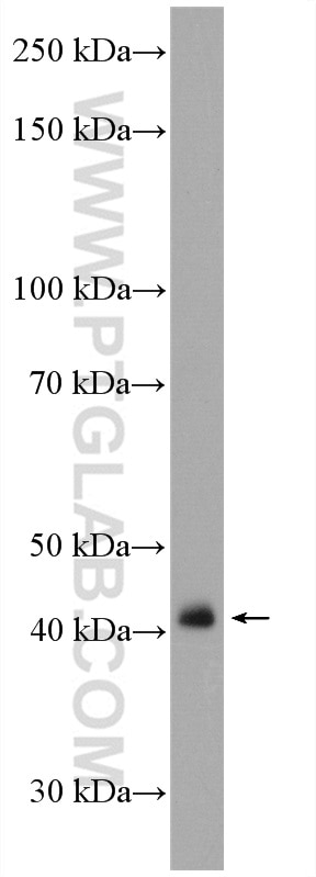 NIH/3T3 cells were subjected to SDS PAGE followed by western blot with 15724-1-AP  (CRTAP antibody) at dilution of 1:600 incubated at room temperature for ...