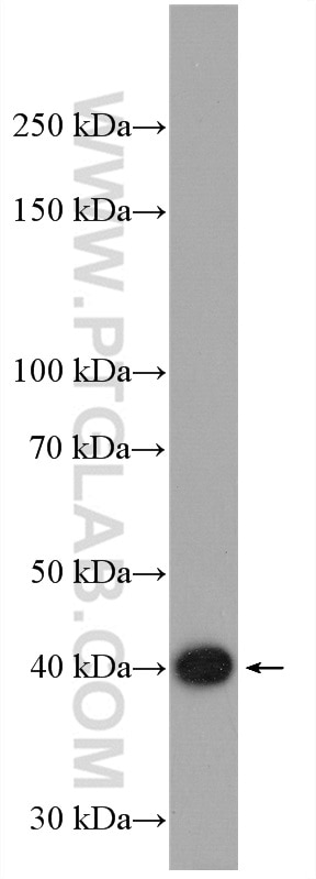ROS1728 cells were subjected to SDS PAGE followed by western blot with 15724-1-AP  (CRTAP antibody) at dilution of 1:600 incubated at room temperature for ...