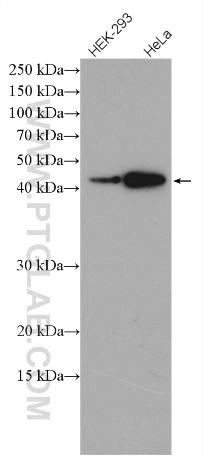 HEK-293 cells were subjected to SDS PAGE followed by western blot with 15724-1-AP  (CRTAP antibody) at dilution of 1:1500 incubated at room temperature for ...