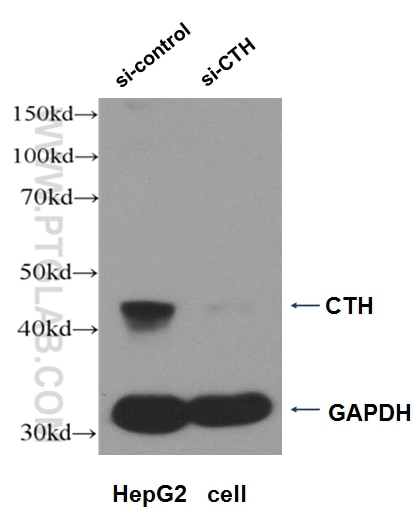 WB analysis of HepG2 cells using 12217-1-AP