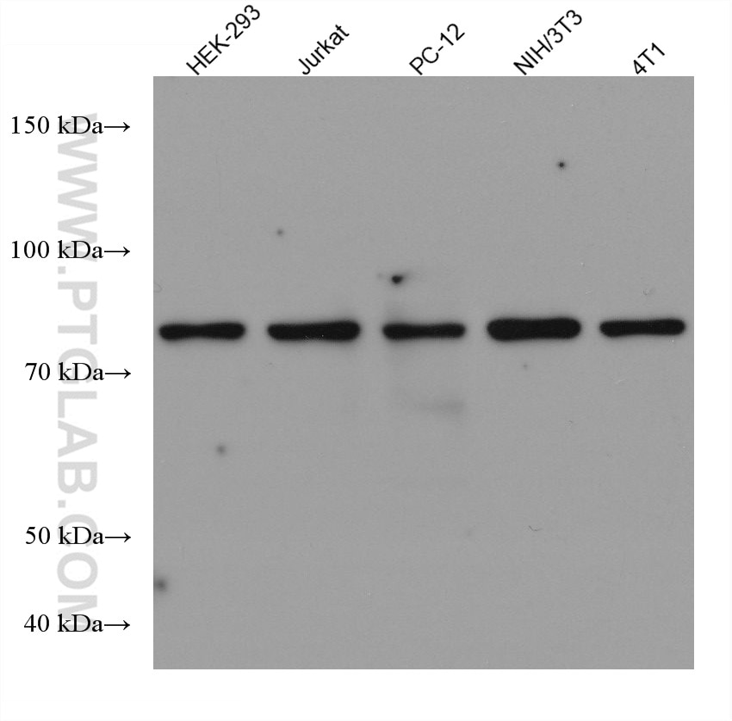 WB analysis using 66978-1-Ig