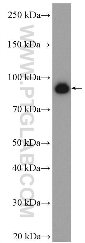 WB analysis of NIH/3T3 using 10693-1-AP
