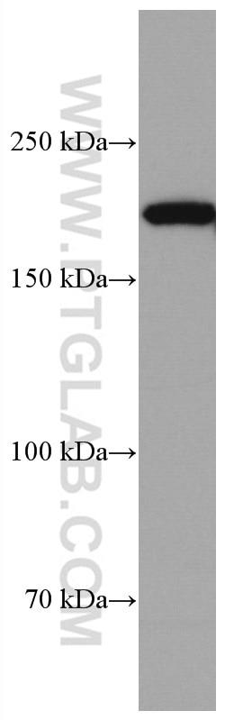 WB analysis of HEK-293 using 67034-1-Ig
