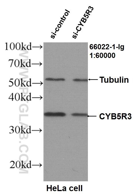 WB analysis of HeLa using 66022-1-Ig