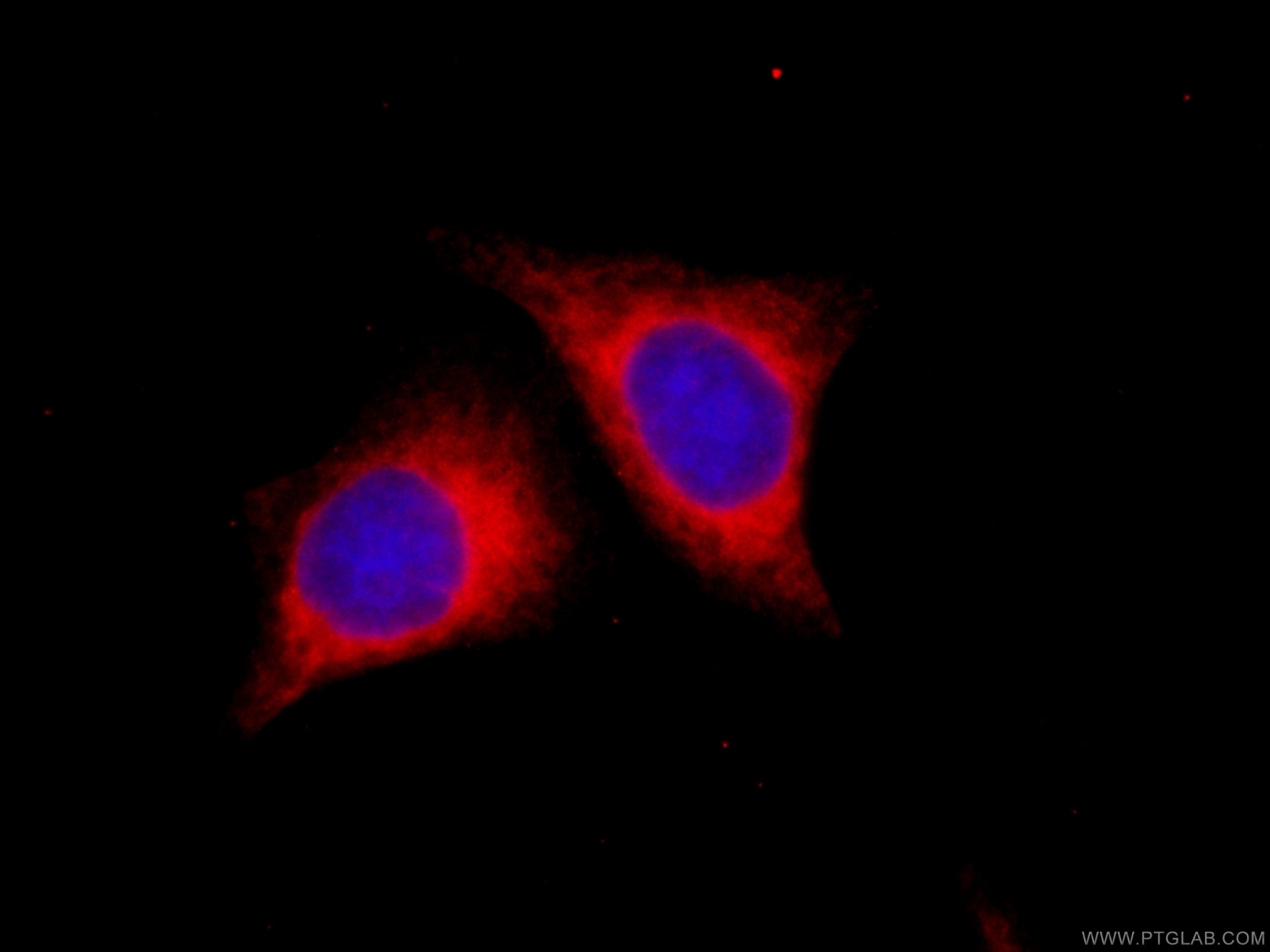 IF Staining of HepG2 using CL594-66022
