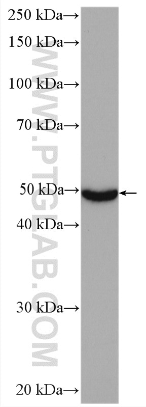 WB analysis of rat liver using 17868-1-AP