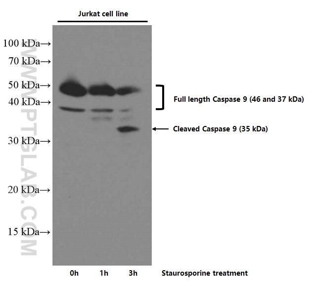 WB analysis of Jurkat using 66169-1-Ig