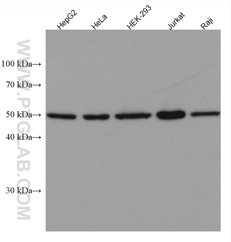 WB analysis using 66391-1-Ig