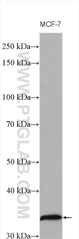 WB analysis using 26939-1-AP