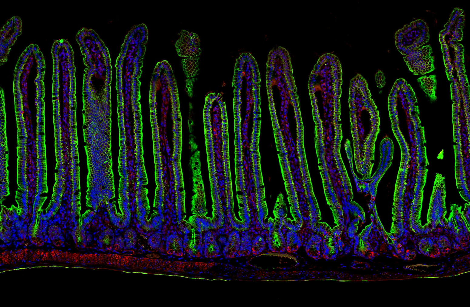 IF Staining of mouse small intestine using CL488-10712