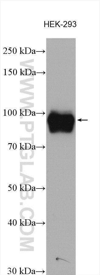 WB analysis using 10914-1-AP