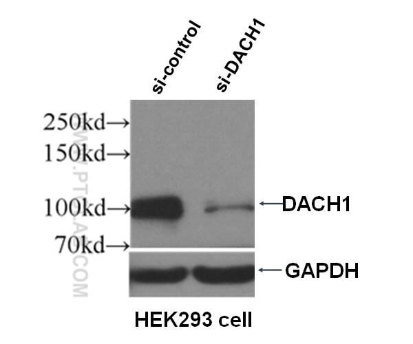WB analysis of HEK-293 using 10914-1-AP