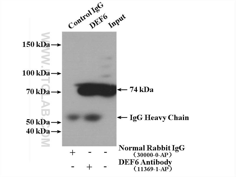 IP experiment of Jurkat using 11369-1-AP