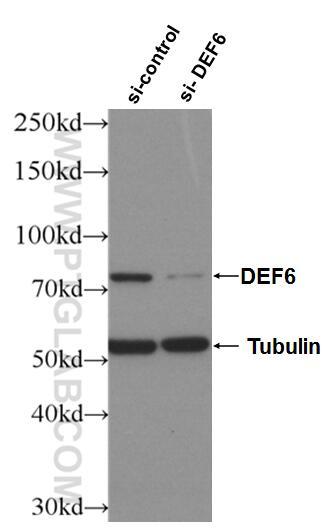 WB analysis of Jurkat using 11369-1-AP