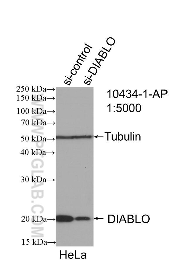 WB analysis of HeLa using 10434-1-AP
